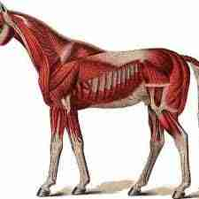BASIC EQUINE MUSCLE ANATOMY