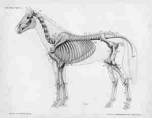SADDLE FIT AND HORSE ANATOMY